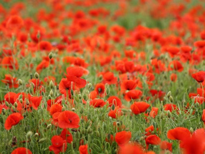 wild_poppies
